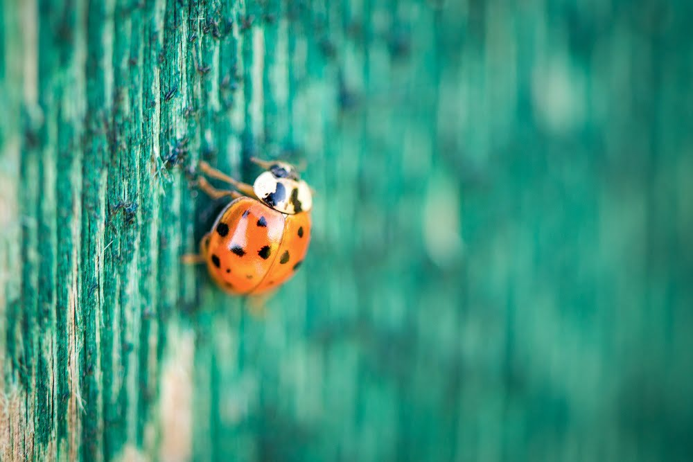 Ladybug on green wooden background